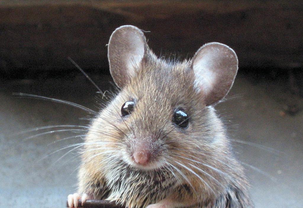Eine Maus im Studio